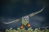 Concentration (Anthony de Schoolmeester) Tags: puffin seabirds sandeels birdinflight landing skomer skomerisland birds wingspan feathers pembrokeshire coast westwales fishing nikond500 nikonafs20050056e