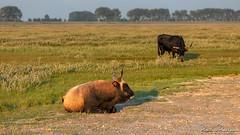 "Heck Cattle ""Slikken van Flakkee"" (BraCom (Bram)) Tags: 169 bracom bramvanbroekhoven goereeoverflakkee heckrund holland nederland netherlands slikkenvanflakkee southholland zuidholland animal avond bomen boom bull cow dieren evening gras grass horens horns koe landscape landschap naturearea natuurgebied polder stier tree trees widescreen dirksland nl"