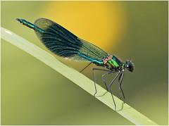 Banded Demoiselle (Antony Ward) Tags: damselflies pocklingtoncanal closeup
