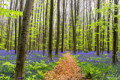 Bluebell Forest (dipanjanmukherjee83) Tags: woodland forest blossom bluebells bloom flowers green nature landscape longexposer travel explorer belgium