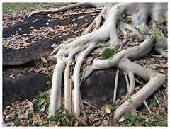 Tentacles (Gurugo) Tags: pollonaruwa srilanka raízes roots pedra stone rock rocha tree árvore folhas leaves