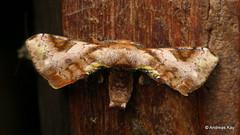 Silkworm Moth, Epia madeira? Bombycidae (Ecuador Megadiverso) Tags: amazon andreaskay apatelodidae bombycidae ecuador epiamadeira moth rainforest silkwormmoth tamanduareservaflores
