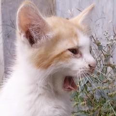 #anakkucing #heuay … #kucing #ucing #kitten #cat #chat #katze #ねこ #고양이 #貓 #felis #silvestris #catus #gato #γάτα #кошка #кот #mèo #miau #gatto #kitty #kat #katt #kissa #meow #macska #قط #kätzchen (haditahir) Tags: kissa kitten anakkucing ucing macska gatto catus katze meow kitty kätzchen γάτα heuay ねこ kat silvestris mèo gato قط miau кошка katt kucing felis chat кот 貓 고양이 cat