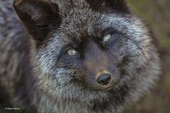 Silberfuchs - 21041801 (Klaus Kehrls) Tags: silberfuchs fuchs tiere wild zoo wildparkschwarzeberge portrait