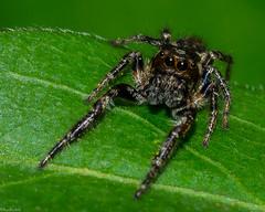 Ah nature, what big eyes you have (Fred Roe) Tags: nikond7100 nikonafsmicronikkor105mmf28 nature wildlife spider macro macromondays natural erismilitaris bronzejumper