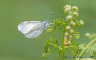 Wood White - Monkwood
