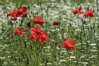 *Blumenwiese* - *flower meadow*