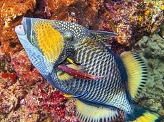 Titan Triggerfish (ArialUnderTheSea) Tags: scubadiving rajaampat triggerfish titantriggerfish underwaterphotography
