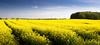 Frühlingsfrischer Norden (Beppe Rijs) Tags: deutschland germany schleswigholstein schlei frühling spring landschaft landscape natur nature field feld horizont horizon clouds farbig colored line linie rural ländlich fertile fruchtbar frisch color farbe acker blue blau yellow gelb raps canola vivid lebhaft rapeseed blume himmel