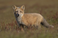 Champagne (shimmeringenergy) Tags: fox redfox vulpesvulpes canoneos7dmarkii ef100400f4556lisiiusm
