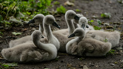 Called to attentiont (PChamaeleoMH) Tags: birds centrallondon london stjamesspark swans cygnets