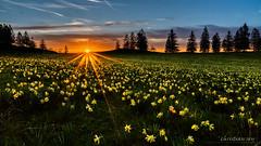 Coucher de soleil sur un champ de jonquilles sauvages (Switzerland) (christian.rey) Tags: jonquilles sauvages blumen flowers fleurs sunset coucher soleil jura neuchâtel neuchâtelois printemps frühling swiss switzerland suisse sony alpha a7r2 a7rii 1635