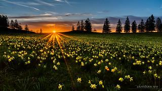Coucher de soleil sur un champ de jonquilles sauvages (Switzerland)