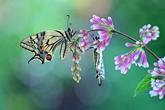Garden dream (sylviafurrer) Tags: schmetterling swallowtail papiliomachaon garten garden insekt insect bokeh coth coth5
