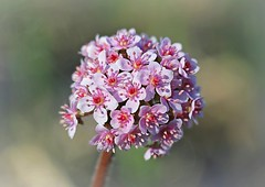 Darmera Peltata or Umbrella Plant (Through Serena's Lens) Tags: springflower umbrellaplant darmerapeltata blossom blooming flowerhead petal flower closeup canoneos6dmarkii 7dwf flora bokeh dof bundle cluster pinkish pink round outdoor garden botanical