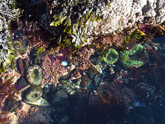 Sea Anemone at Yaquina Head Natural Area in OR (Landscapes in The West) Tags: yaquinahead naturalarea pacificcoast oregon pacificocean pacificnorthwest oregoncoast seaanemone