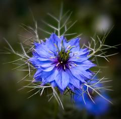 Nigella (judy dean) Tags: velvet56 stowonthewold judydean lensbaby blue nigela loveinamist garden flower