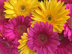 yellow and pink gerbera daisy.jpg (remiklitsch) Tags: pink yellow gerberadaisy farmersmarket santamonica colors colorful pattern remiklitsch nikon flowers nature