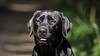 June girl (uwe.kast) Tags: labrador labradorretriever labradorredriver hund haustier dog bokeh black wald wood canon canon750d ef70200mm