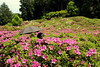 Azalea gardens (nobettertimethannow) Tags: japan uji mimurotoji temple azalea gardens azaleas flowers purple canon