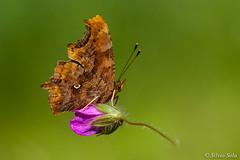 Vanessa c-bianco [Polygonia c-album] - Virgola... (Silvio Sola) Tags: vanessacbianco farfalla butterfly virgola lepidottero campo fiore closeup macro insetto insect polygoniacalbum silviosola