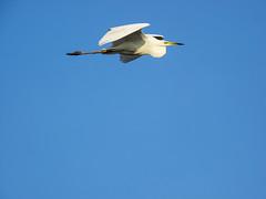 P6020891 (turbok) Tags: silberreiherardeaalbasyncasmerodiusalbus tiere vögel wildtiere c kurt krimberger