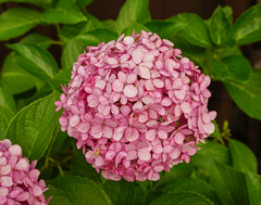 Purple Hydrangea flower (phuong.sg@gmail.com) Tags: abstract asia asian background beautiful beauty blossom blurred botanic bush color dalat ecology environment flora floral flowers focus fragile freshness green growth herb hortensia hydrangea japan macro macrophylla natural nature nobody outdoor pink plant purple season shrubs soft softness spring summer vietnam wildflower