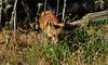 EdenLanding_052818_142 (kwongphotography) Tags: edenlandingecologicalreserve edenlanding wildlife wildlifephotography nature naturephotography eastbayregionalparks hayward california ca calif redfox fox unitedstates
