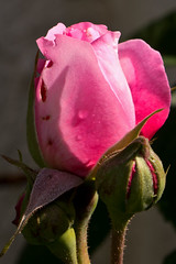 IMG_2685 (Lightcatcher66) Tags: rosen rosa königinenderblumen lightcatcher66
