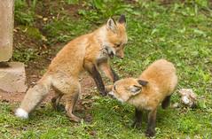 IMGL1455 Pugwash Red Fox Kit(s) (Wallace River) Tags: foxes novascotia pugwashfoxes redfoxes