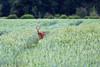 Chevreuil : chevrette - Phalempin - Roe deer (Pap_aH) Tags: papah animal chevreuil chevrette roedeer foret forest champs fields france nord phalempin offlarde 2018