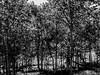 Shadows and Woods (Robert Cowlishaw (Mertonian)) Tags: shadowsandwoods aspens morninghike mertonian robertcowlishaw canon powershot g1x mark iii canonpowershotg1xmarkiii shadows darkwood hiking sublime bw blackandwhite deeply