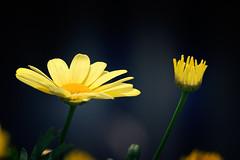 Marguerite jaune - Yellow Daisy (tad888) Tags: daisy marguerite jaune yellow fleur flower plante pétale été botanique oxeye flore annuelle chrysanthues chamaemelumnobile champ contexte marguerites beau fleuriste pré planteàfleurs familledemarguerites margueritesjaunes oxeyedaisy champdemarguerite planteannuelle planteterrestre margueritedaisy