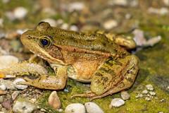 CRLF (Z. Abbey) Tags: frog endangeredspecies california californiaredleggedfrog herpetofauna amphibians nativespecies cesa esa canon canon80d 80d canoneos80d animal critter dcc nature wildlife