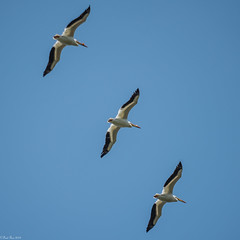 Pelicans on Parade (Fred Roe) Tags: nikond810 nikkorafs80400mmf4556ged nature wildlife birds birding birdwatching birdwatcher birdinflight pelican americanwhitepelican pelecanuserythrorhynchos