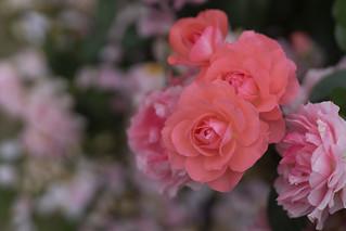 Rose -Jardins de France-,Kyoto Botanical Gardens,Kyoto
