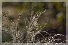 Cheveux d'ange (clamar18) Tags: fleur jardin cheveux dange flower nature graminée mérysurcher vierzon france
