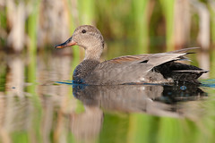 Canard Chipeau male / Male Gadwall (askyu22) Tags: canardchipeau canard duck gadwall anasstrepera bird oiseau