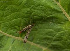 """Leipzig, Lützschena, """"Skorpionsfliege (weiblich)"""" (joergpeterjunk) Tags: leipzig lützschena outdoor feld tier insekt fliege skorpionsfliege canoneos50d canonef100mmf28lmacroisusm"""