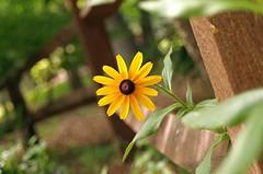 Black Eyed Susan (dbourdon47) Tags: 52project2018 week23 gardenfinds pentax dic june 2018 day11