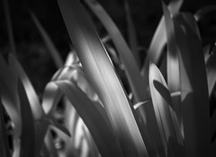 Sun through leaves (TPStearns) Tags: infrared ir monochrome blackandwhite bw leaves