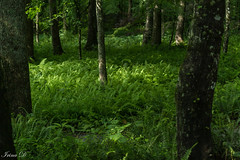 Fernland (Irina1010) Tags: forest woods trees ferns green shade cool summer nature beautiful canon