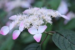 Hydrangea (yukky89_yamashita) Tags: osaka japan suita 万博記念公園 自然文化園 expo70 park 大阪 吹田市