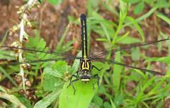 Sable clubtail, female (Stenogomphurus rogersi) (Vicki's Nature) Tags: sableclubtail female black yellow greeneyes vickisnature jbowens georgia canon s5 4618 rare