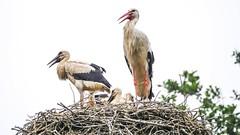 Cigognes - Pairi Daiza (ΨᗩSᗰIᘉᗴ HᗴᘉS +27 000 000 thx) Tags: cigogne bird zoo pairidaiza nature nid hensyasmine yasminehens belgium europa oiseau lowkey