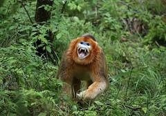 Golden snub nosed monkey (richard.mcmanus.) Tags: china monkey goldensnubnosedmonkey foping forest rainforest mcmanus primate rainforestfauna rainforests animal wildlife