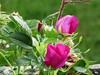 Summer 2018 (Ann.Sundqvist) Tags: lancaster roses blackberry