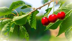3 Kirschen (markus.hermenau) Tags: garten baum kirschen rot grün sommer