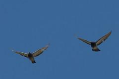 IMG_0702 (armadil) Tags: moripoint bird birds pigeon pigeons flying