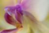 Swoop (chrys goote) Tags: orchidaceae phalaenopsis somersetwest orchid reverseringmacro